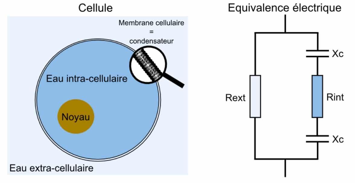schéma équivalent électrique d'une cellule en bio impédancemétrie